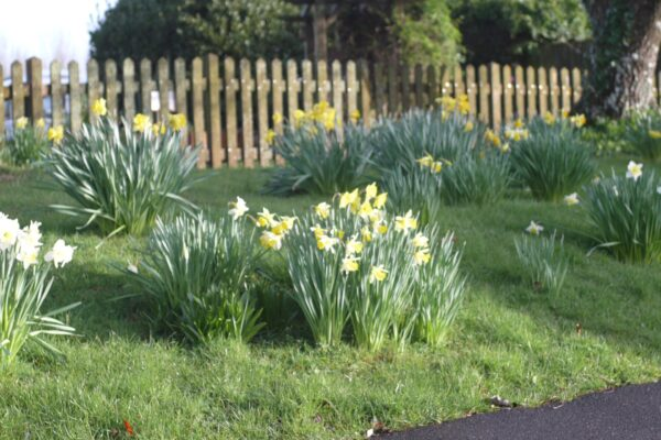 Daffodils at Ross Park